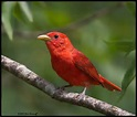 Scarlet Tanager Color Red Dooney